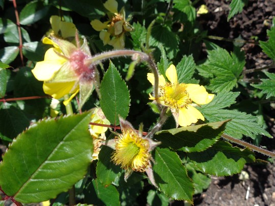 Geum 'Lisanne' for my records