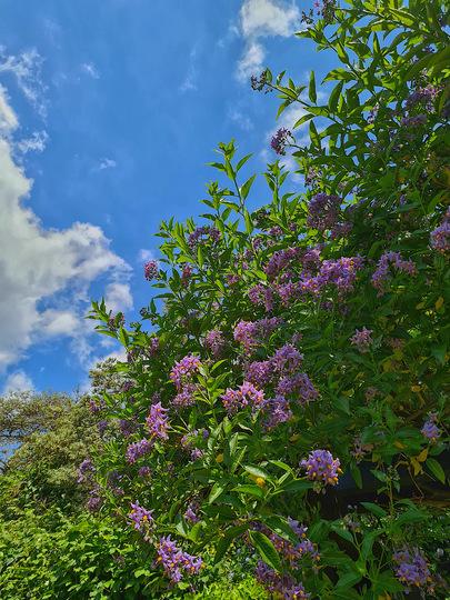 Solanum crispum glasnevin flourishing in the sunshine. (Solanum crispum (Chilean potato tree))