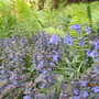 How I love blue in the garden!  ajuga and bluebells, ferns and foliage.