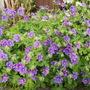 Geranium magnificum Rosemoor