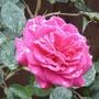First open rose
