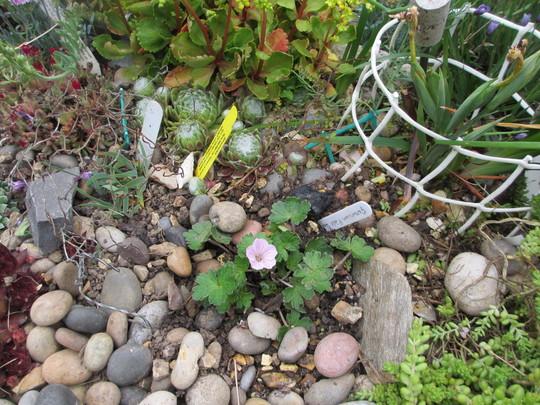 Geranium Pink Delight (For my File) (Geranium)