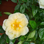 Beautiful buttery coloured rose.