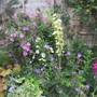 Cistus x purpurea Alan Fradd (Cistus x purpurea)