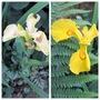 Iris pseudocorus (Iris pseudocorus)