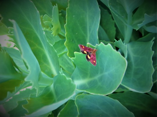 For Seaburngirl - Moth or Butterfly?