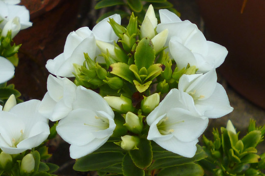 Hebe macrantha (Hebe macrantha)