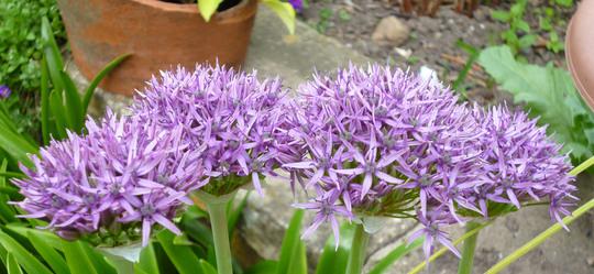 Allium Violet Beauty (Allium 'Violet Beauty')