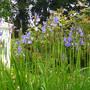 Iris siberica 'Tropical Nights' (Iris siberica Tropic Night)
