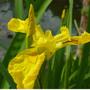 Iris_pseudocoris