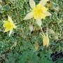 Aquilegia chrysantha (Aquilegia chrysantha (Golden Columbine))