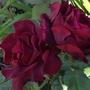 Rose 'Francois Dubreuil'