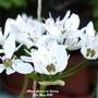 Allium flowers on balcony 31st May 2021 (Allium)