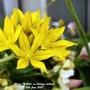 Allium (Yellow) on balcony railings 10th June 2021 (Allium)