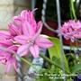 Allium (Deep pink) on balcony railings 10th June 2021 (Allium)