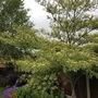 Cornus alternifolia argentea in full bloom