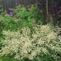 Aruncus Misty Lace and Geranium Psilostemon