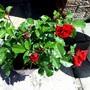 Floribunda 'Ruby anniversary ' rose.