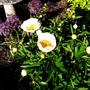 Peony Lactiflora 'Crinkled White'