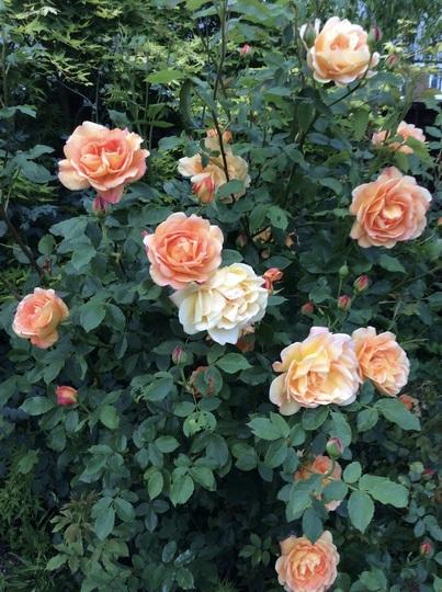 Rose 'Lady of Shalott'.