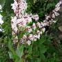 Lilac Superba
