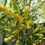 Acacia retinoides     Again