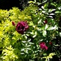 Rose 'Burgundy Ice' beside Choysia.