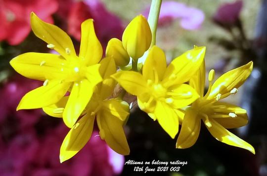 Alliums flowering on balcony railings 12th June 2021 003 (Allium)