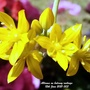 Alliums_flowering_on_balcony_railings_12th_june_2021_003