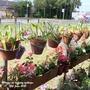Alliums on balcony railings 12th June 2021 (Allium)