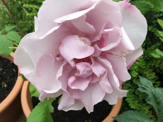 Rosa 'Odyssey'.