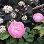 Physocarpus 'Diablo' with rose 'Scarborough Fair'.