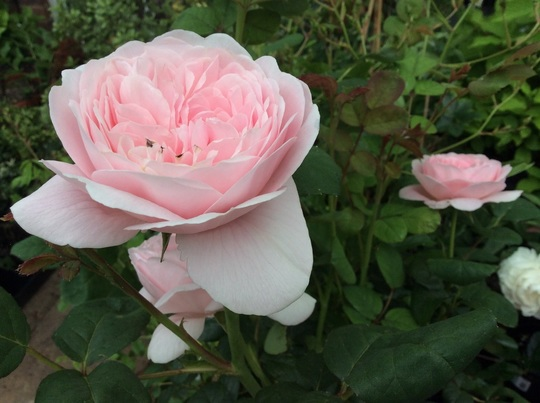 Rose 'Special Mum'
