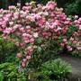 Inherited pink rhododendron