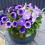 Couldn't resist showing this bowl of Petunias again.