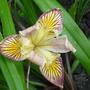 A pacific coast Iris (Iris Broadleigh Ann [Pacific coast type])
