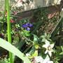 Salvia Ex Violin Music (For my File) (Salvia greggii (Autumn sage))