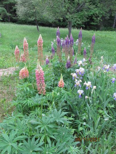 field lupins