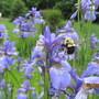 Siberian Iris and friend