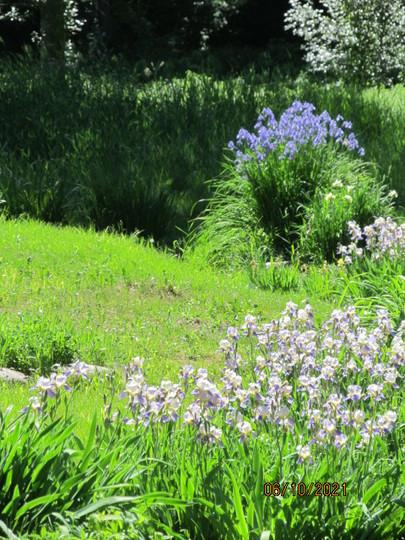 Irises near the stream