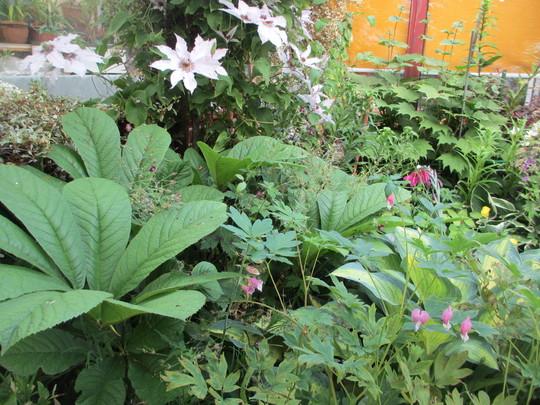 Rogersia aesculus (Rogersia aesculus)