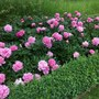 Hundreds of peonies - what a sight.