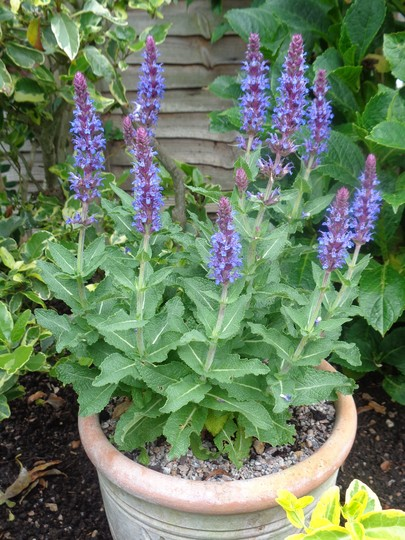 Salvia nemorosa 'Sensation Blue'  -  for my records. (Salvia nemorosa (Sage))
