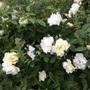 Rose 'Windrush'