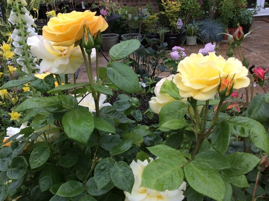 Rose 'Arthur Bell'