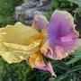 Iris Distant Chimes (Iris germanica (Orris))