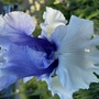 Iris Wintry Sky (Iris germanica (Orris))