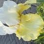 Iris Melted Butter (Iris germanica (Orris))