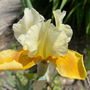 Iris Honey Glaze  (Iris germanica (Orris))