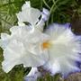 Iris Queen's Circle (Iris germanica (Orris))